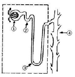 unidade fisiológica do sistema excretor de um mamífero biologia enem vestibular