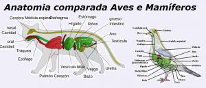 Anatomia comparada Aves e Mamíferos Biologia Vestibular1