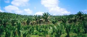 Formações vegetais brasileiras Mata dos Cocais Vestibular1