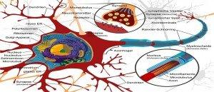 Sistema Nervoso dos vertebrados e invertebrados Vestibular1